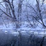 屈斜路湖のオオハクチョウ